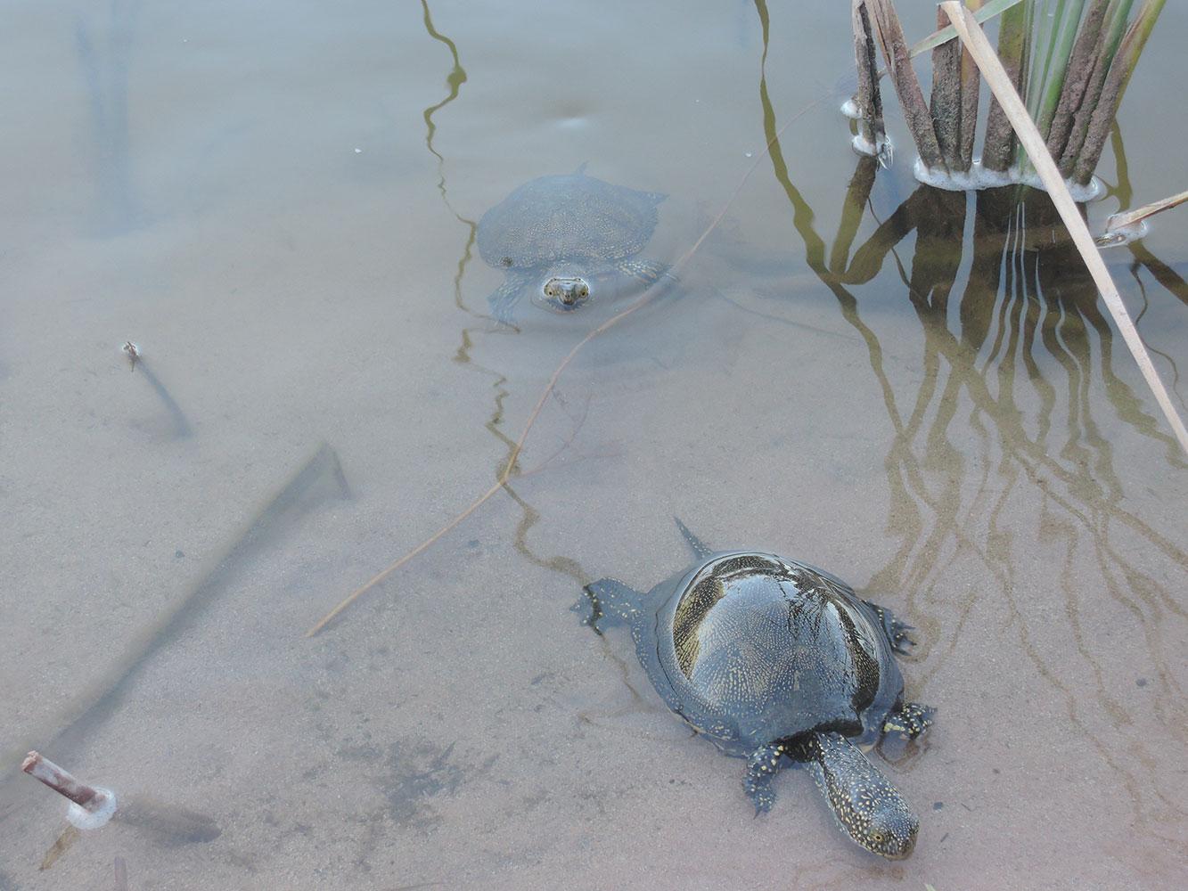 cala-dalgaiariens-menorca-la-afbufera-turtles